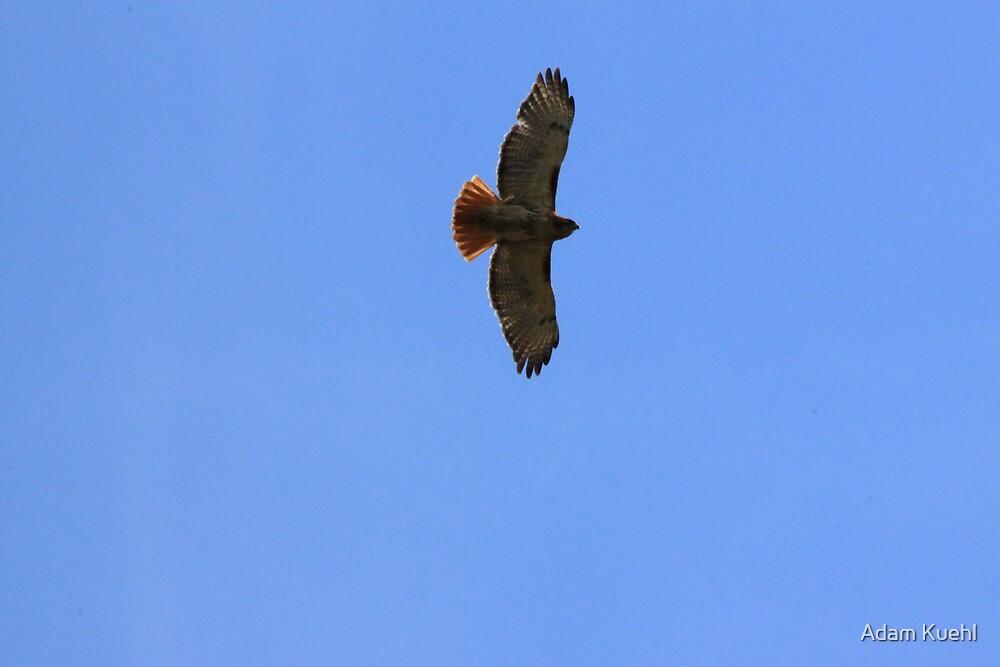 Redtailed Hawk by Adam Kuehl