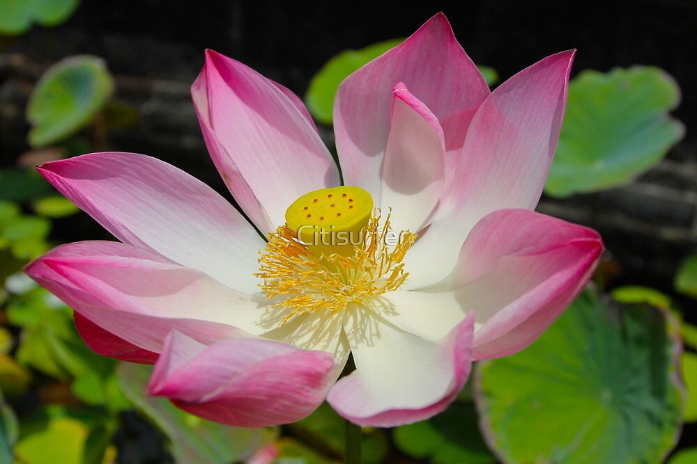 Pink Lotus by Citisurfer