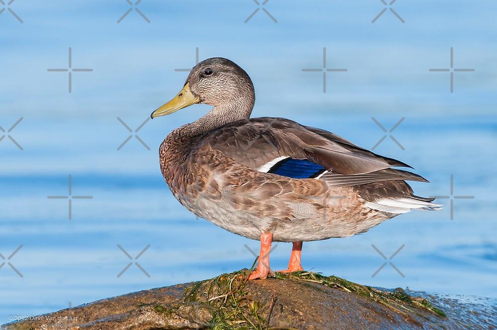 Mallard Duck by (Tallow) Dave  Van de Laar