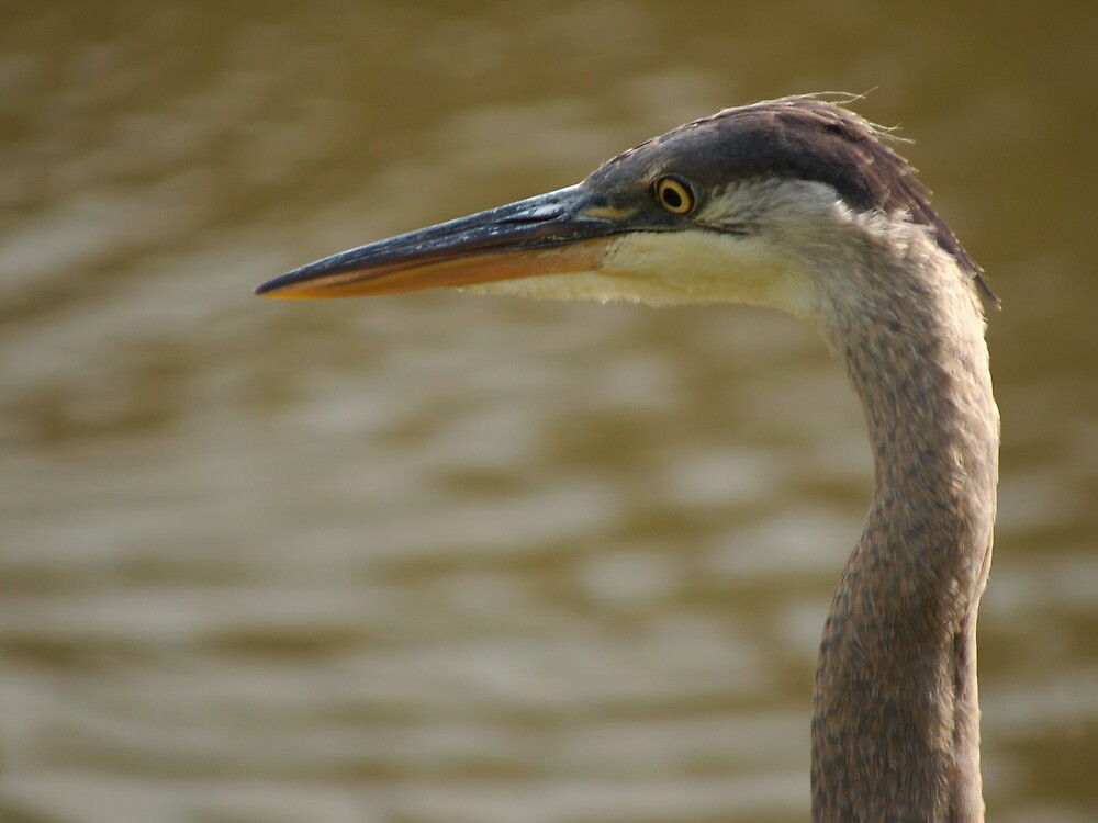 Blue Heron by MikeyPVader