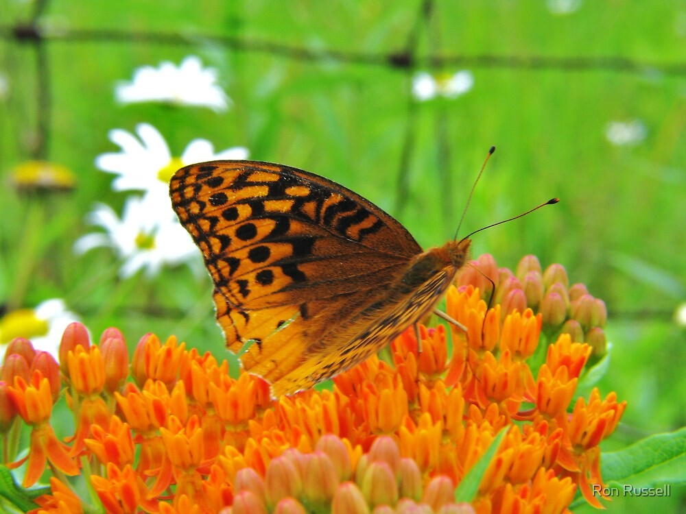 Great spangled Fritillary Dining on Butterfly Weed by Ron Russell