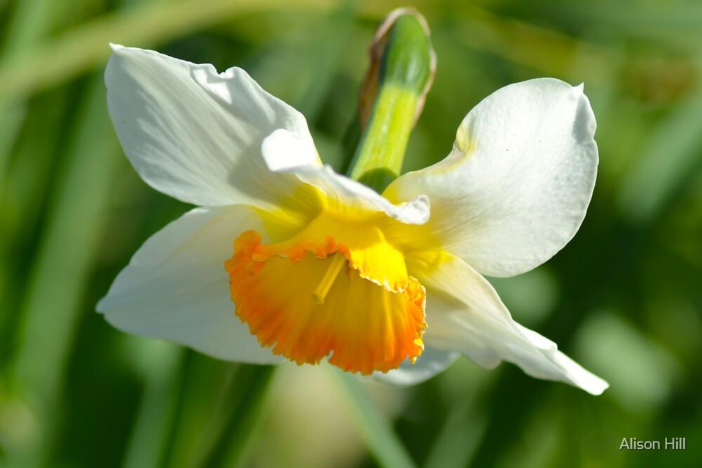 Daffodil 2  by Alison Hill
