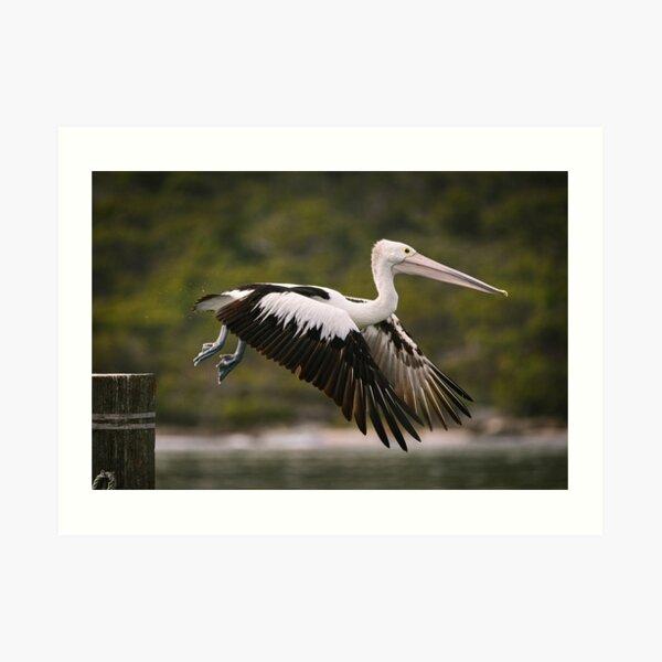 Emu Point_Pelican #02 Art Print
