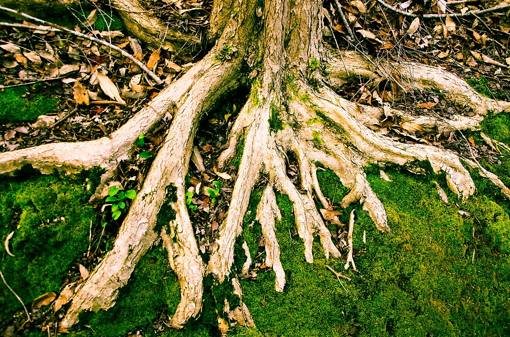 Tree Roots, Mt Lofty Botanical Gardens, South Australia by Derek  Rogers