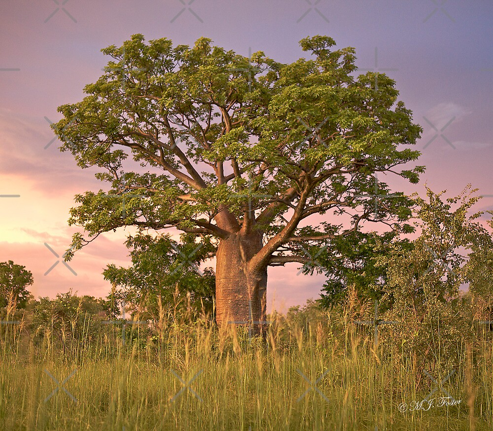 Boab Tree facing sunset. by Mary Jane Foster