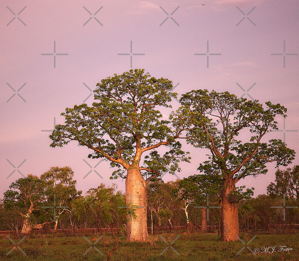 Boab Trees facing the setting sun. Derby, West Kimberley Region of Western Australia. by Mary Jane Foster
