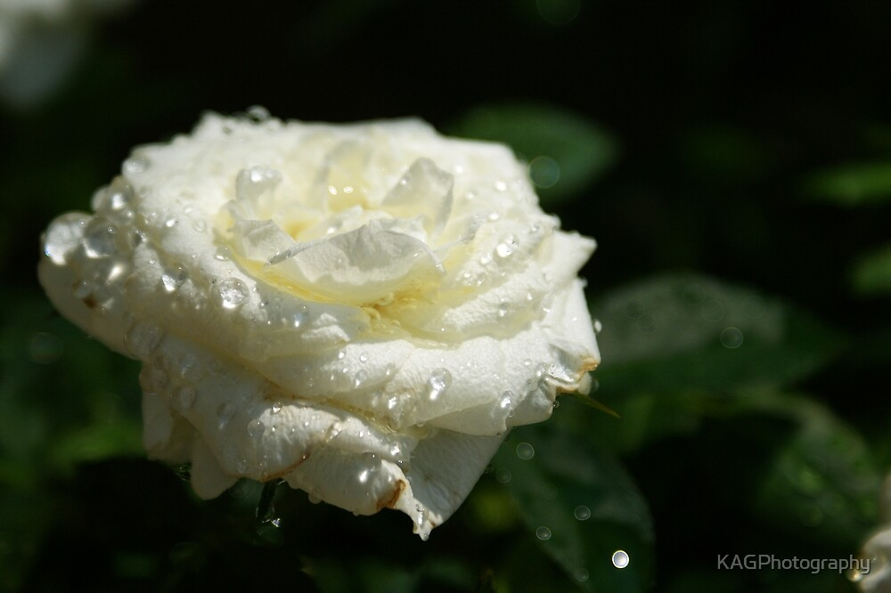 White Watered Rose by KAGPhotography