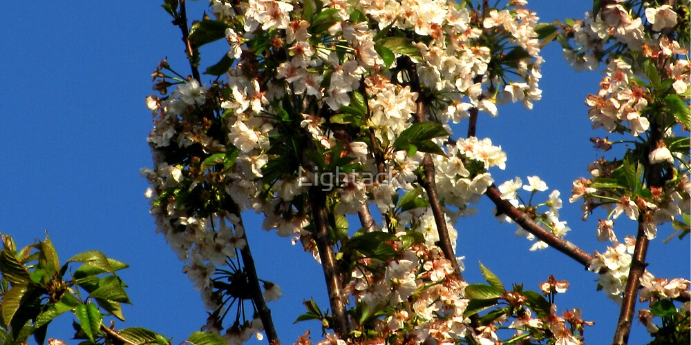 White Blossoms by Lightack