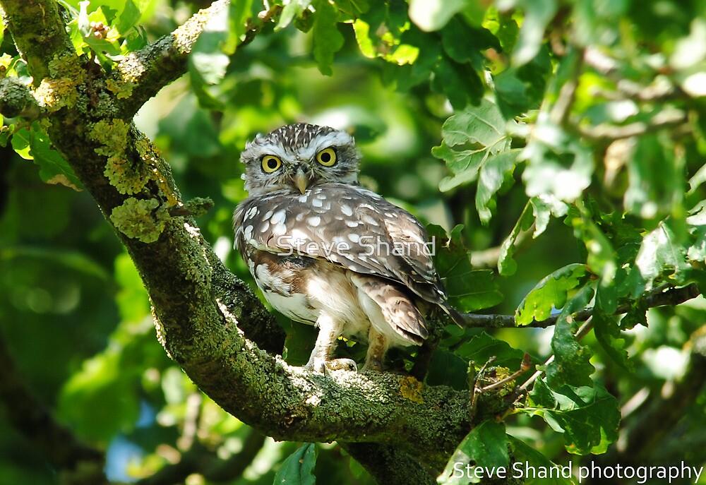 little owl in tree by Steve Shand