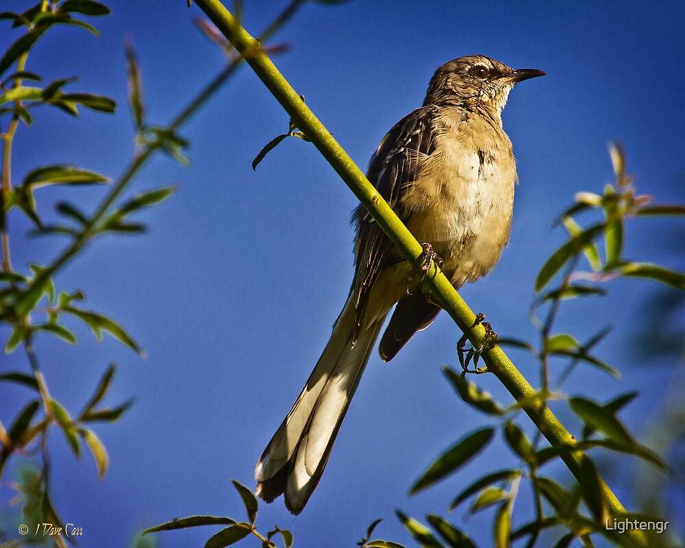 Northern Mockingbird by Lightengr