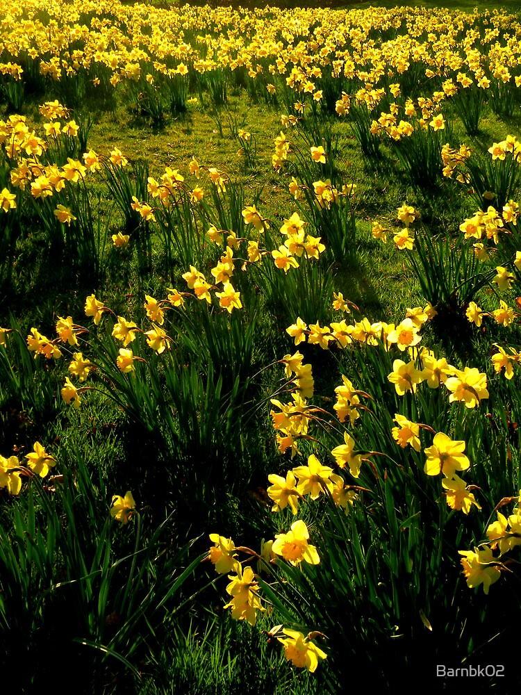 Kew Daffodils by Barnbk02