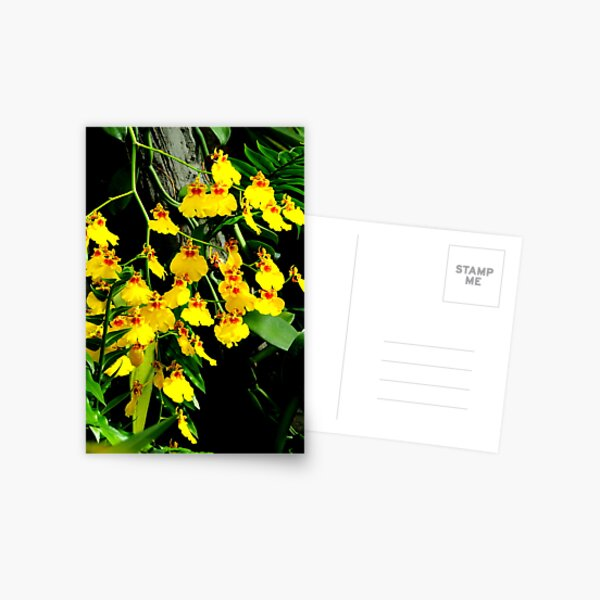 Oncidium Gower Ramsey Postcard
