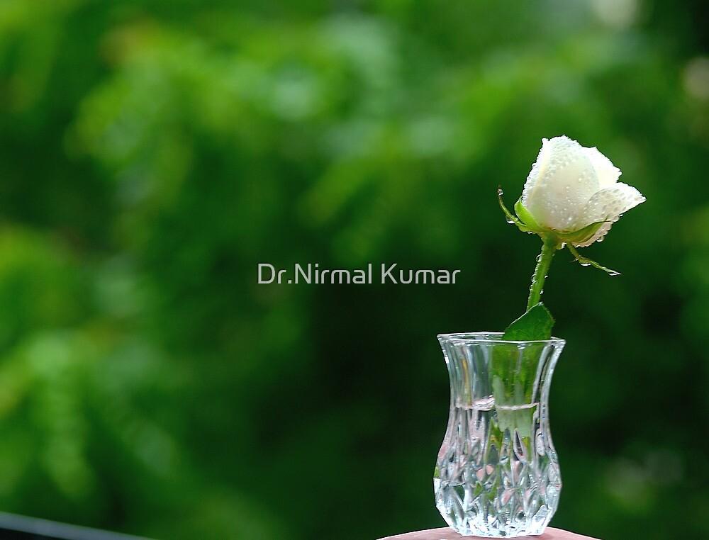 A Rose by Dr.Nirmal Kumar