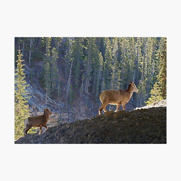 Mountain Goats Photographic Print