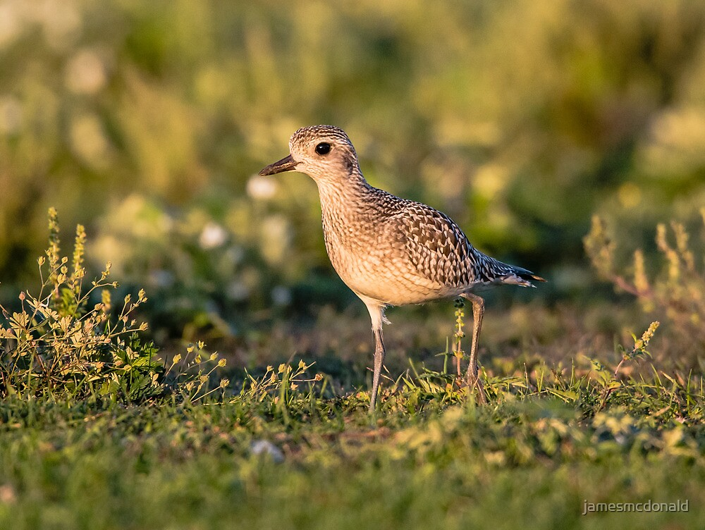 plover stop over by jamesmcdonald