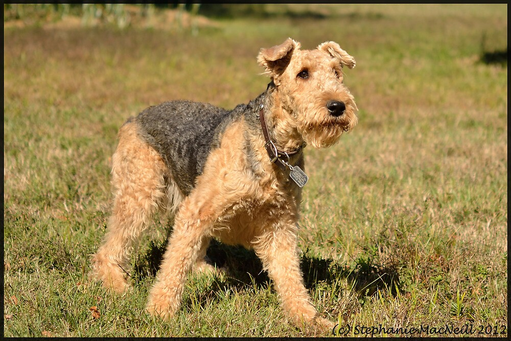 Airedale at Work and Play by Groovydawg
