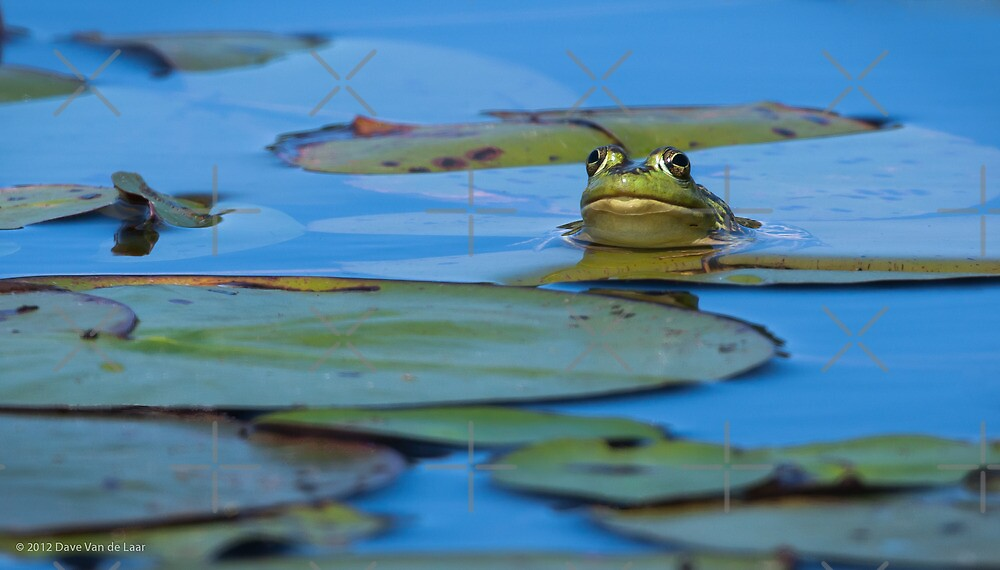 Frog on Lily Pad by (Tallow) Dave  Van de Laar