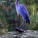 Blue Heron by Debra Fedchin