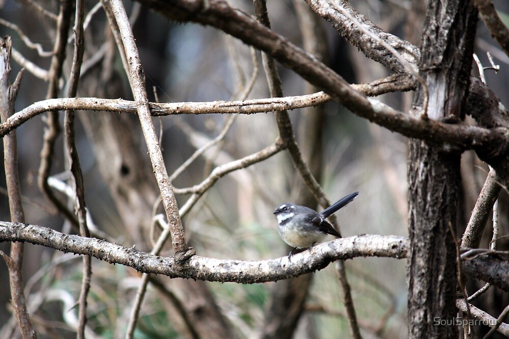White Browed Scrub Wren by SoulSparrow