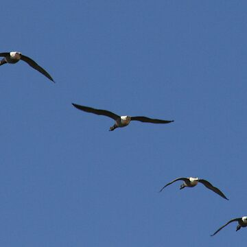 Heading South (Geese1) by MamboGeorge