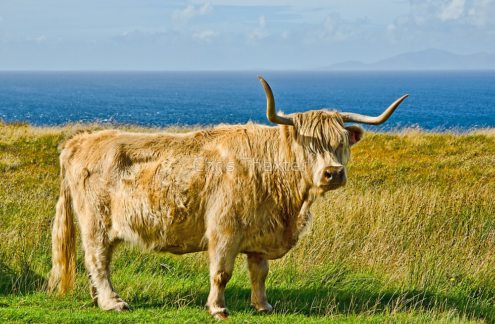Highland Cow by Chris Thaxter