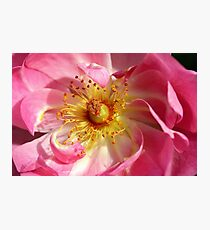 Macros blush . Photographic Print