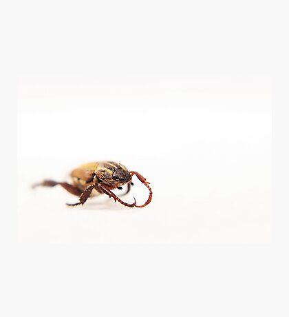 Beetle On White Photographic Print