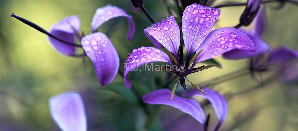 Cleome - Light Morning Mist by T.J. Martin