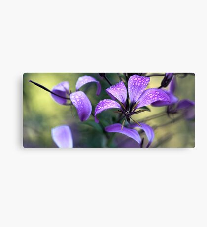 Cleome - Light Morning Mist Canvas Print