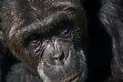 Captive or Refugee?  Chimpanzee, Ol Pejeta Conservancy, Kenya by Neville Jones