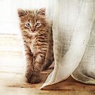 Kitten by the curtains by Alan Mattison