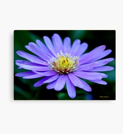 IN BLUE - THE MICHAELMAS DAISY - Aster novi-belgii Canvas Print