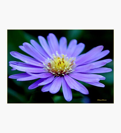IN BLUE - THE MICHAELMAS DAISY - Aster novi-belgii Photographic Print