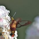 Hummingbird Clearwing by Rose Landry