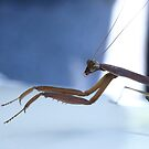 Praying Mantis 1 by Barry W  King