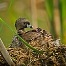 Feeding at the Nest by Daniel  Parent