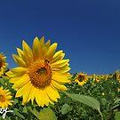 Field of Gold by milkayphoto