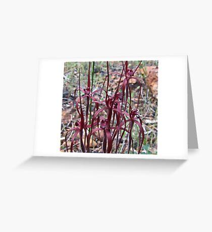 Blood spider Orchid (Caladenia filifera ) Greeting Card
