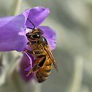 Honey Bee on Eremophila nivea by Janette Rodgers