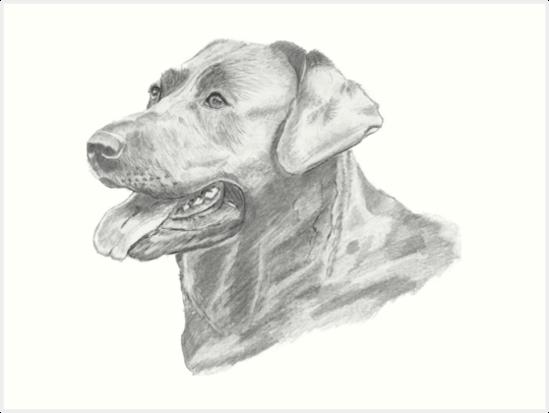 Láminas Artísticas Dibujo A Lápiz De Perro Labrador De Samantha
