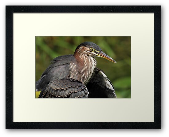 Drying Off / Green Heron by Gary Fairhead