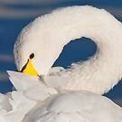The Coy Swan by M.S. Photography/Art