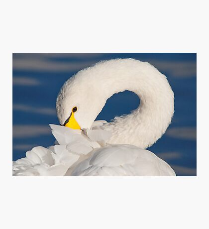 The Coy Swan Photographic Print
