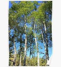 Aspen Poplar Trees Poster
