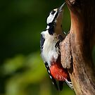 great spotted woodpecker by Nicole W.