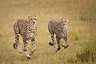 Cheetah, Serengeti plains, Tanzania by Neville Jones