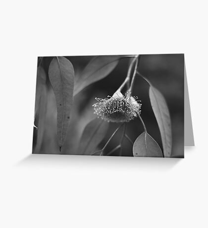 Silver Princess Eucalyptus Greeting Card