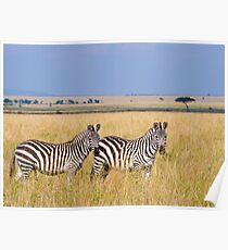 Zebra, Serengeti plains, Tanzania Poster