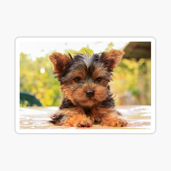 Cute Yorkshire terrier puppy portrait  Sticker