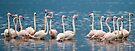Greater Flamingos, Lake Bogoria, Kenya by Neville Jones